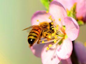 蜂胶对癌症有防治作用