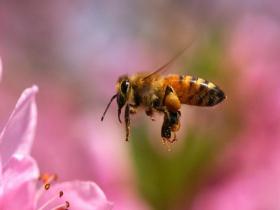 蜂胶和高血压