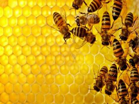蜂胶能有效防治肠胃疾病