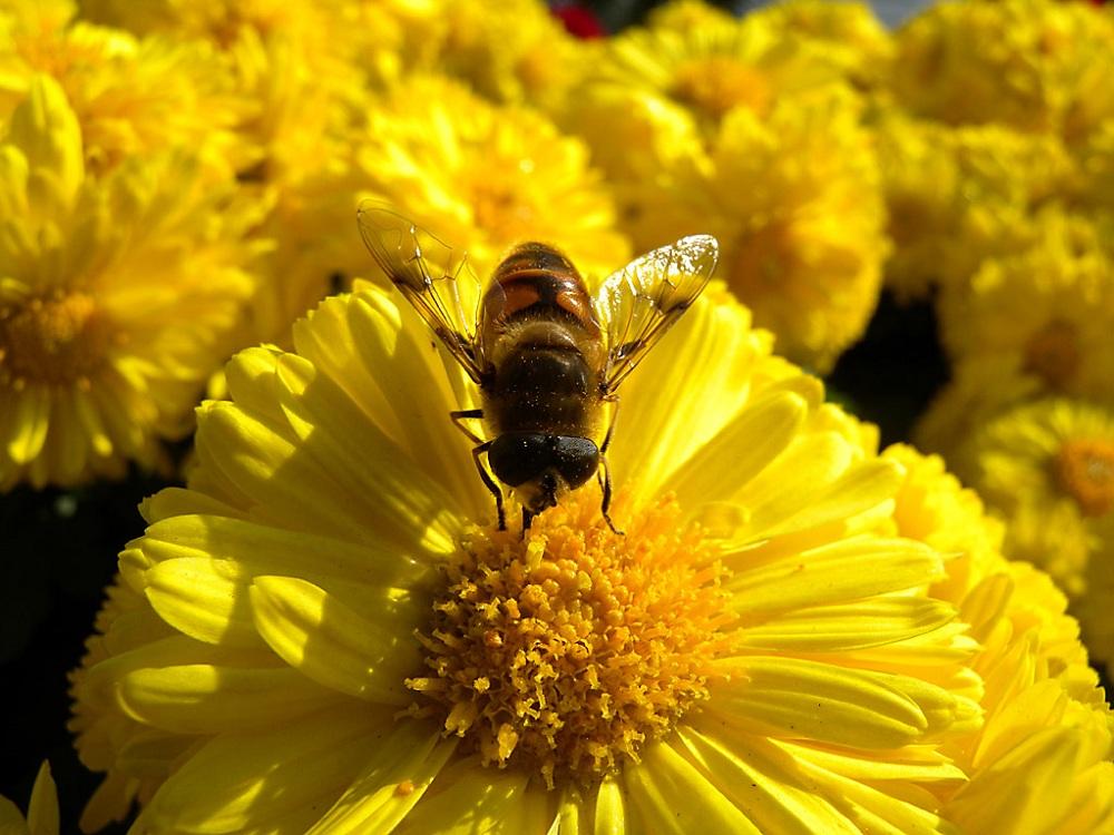 蜂胶防治糖尿病及其并发症的作用机理