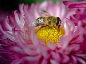 蜂胶为什么是天然免疫增强剂?