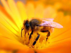 蜂胶对血脂异常的奇特功效