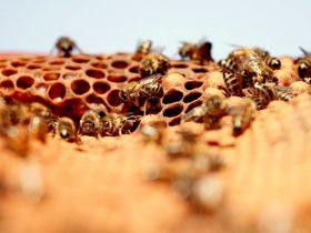蜂胶有益于抗击癌症,念珠菌和寄生虫的免疫力