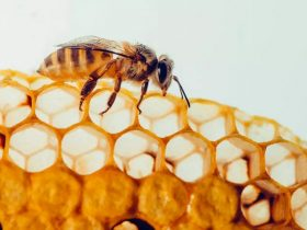蜂胶是最好的恢复活力护肤品之一