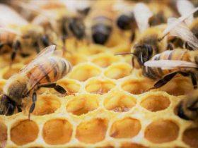 蜂胶的10种健康益处将改变你的生活