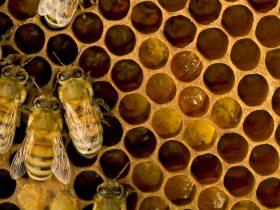 蜂胶的吃法,蜂胶的食用方法
