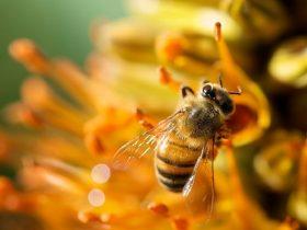 蜂胶,人类的健康之友!