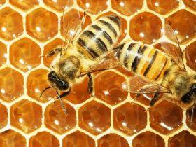 蜂胶为什么不能作为普通食品?