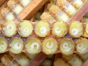 日本能成为蜂王浆的消费大国主要原因